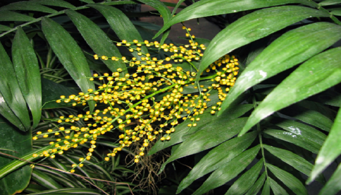 Flores de Chamaedorea