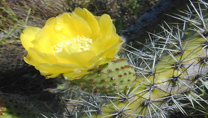 Flores de Chumbera