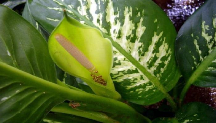 Flores de Dieffenbachia
