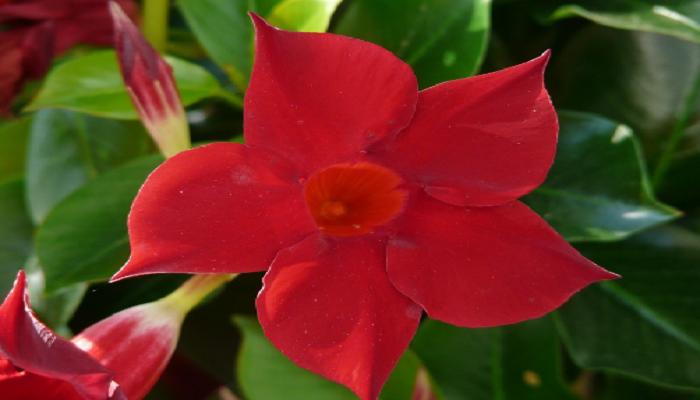 Flores de Dipladenia