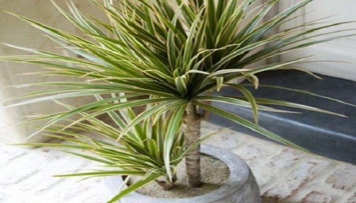 La planta de Dracaena marginata