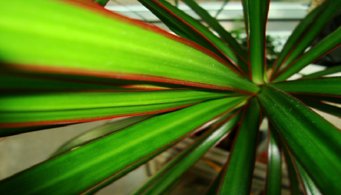 Dracaena marginata variedad Tarzan