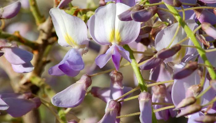 Enredaderas de flor