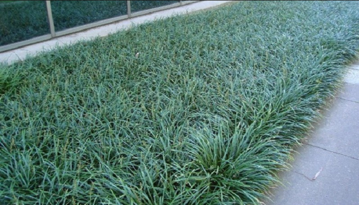 Enredaderas Spicata liriope