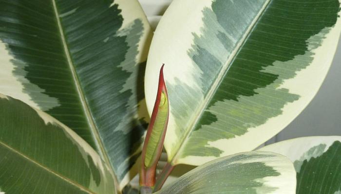Usos de Ficus elástica