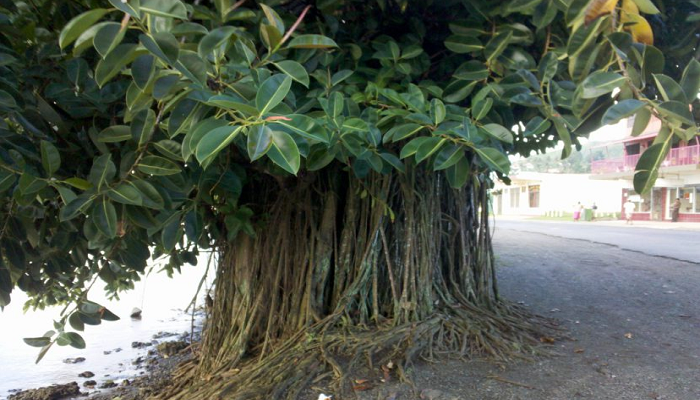 Árbol de Ficus elástica