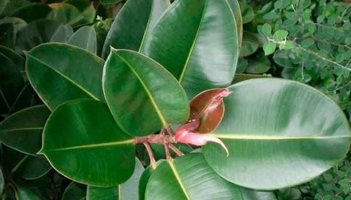 Hojas de Ficus elástica
