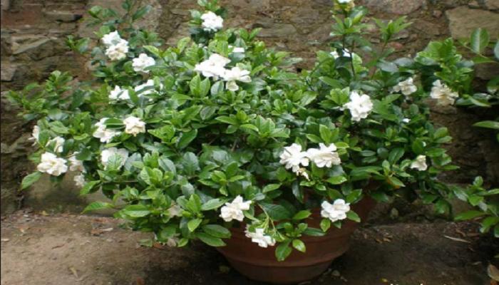 Características morfológicas de la gardenia
