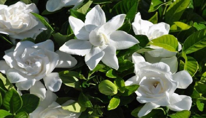 La floración de la Gardenia