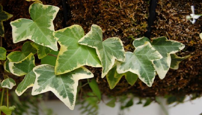 Hiedra como planta ornamental