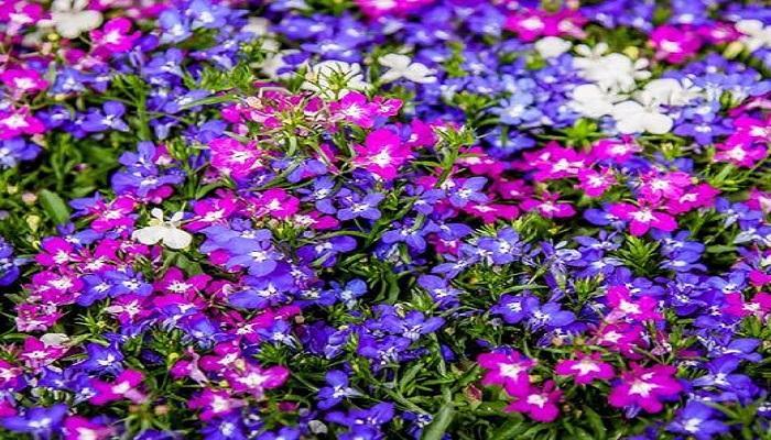 Flores de Lobelia