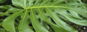 Monstera o Costilla de Adán