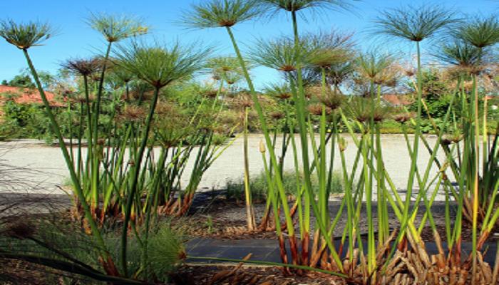 Papiro purificador del medio ambiente