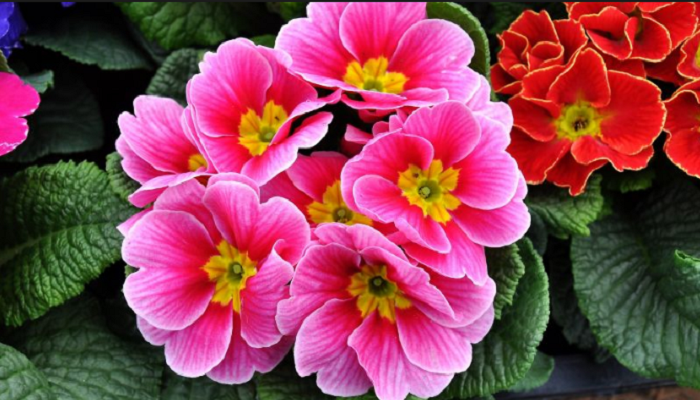 Flores de Prímula