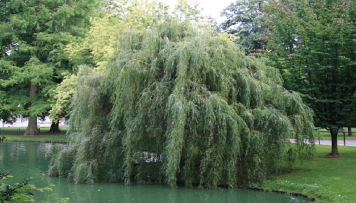 La copa del árbol de Salix alba