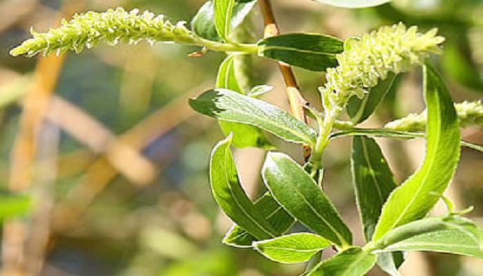 Flores de Salix alba