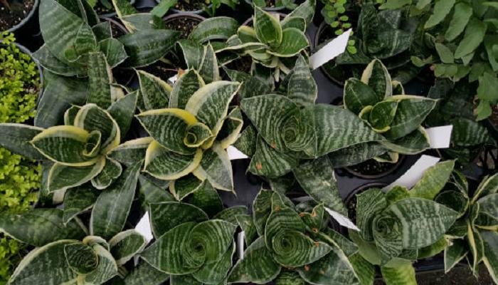 Cultivo de la Sansevieria