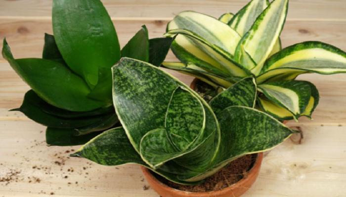Cultivares populares de Sansevieria
