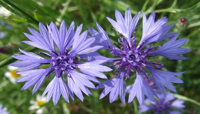 La flor Aciano azul