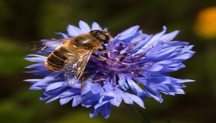 Floración flor Aciano azul