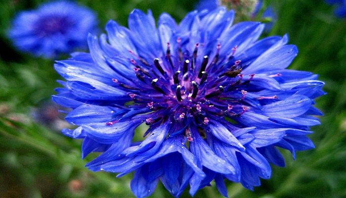 Flor Aciano azul