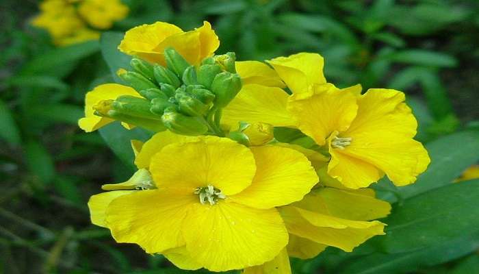 Flores de Alhelí amarillo Cheiranthus cheiri