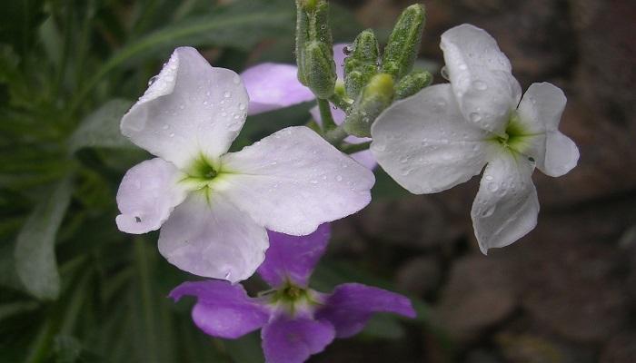 Flor de Alhelí blanco