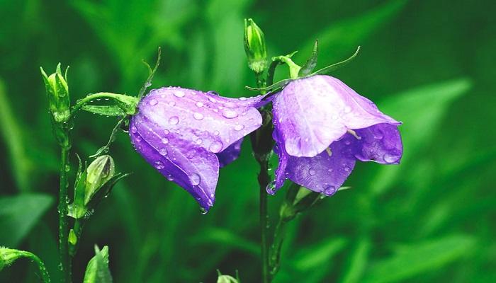 Flores Campanillas violetas