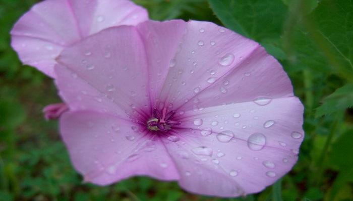 Flores Campanillas rosas