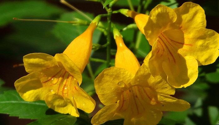 Flores Campanillas amarillas