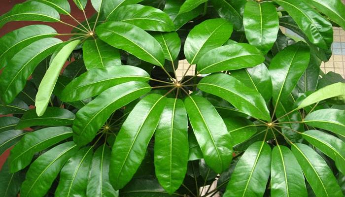 Cheflera actinophylla