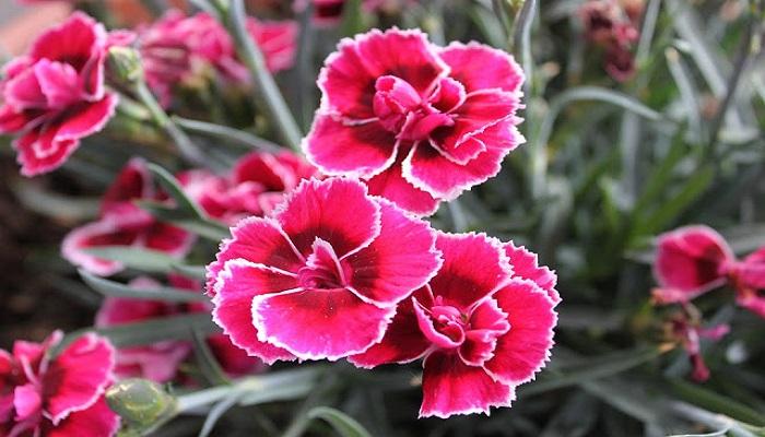 Floración de los Claveles Chinos