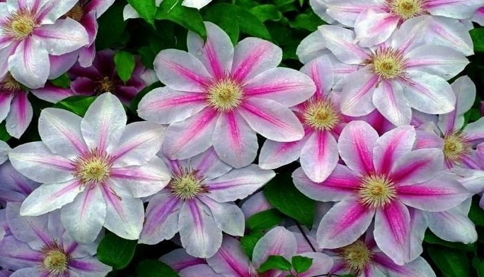 Flores Clematis