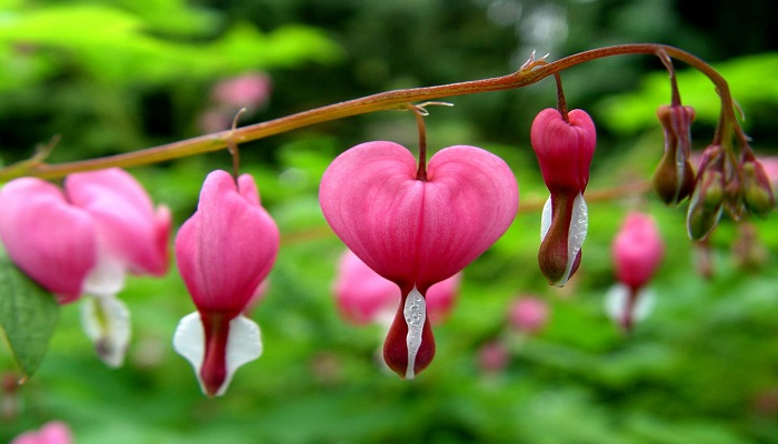 Corazón sangrante flores rosadas