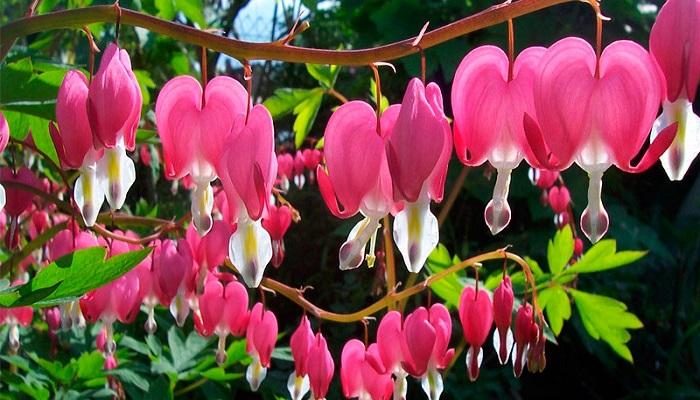 Flores de Corazón sangrante