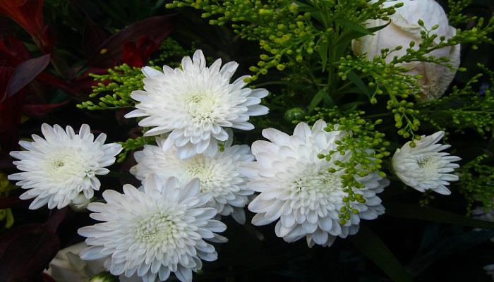 Flores de Crisantemos