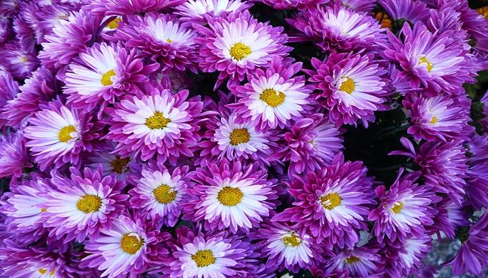 Crisantemos Violetas