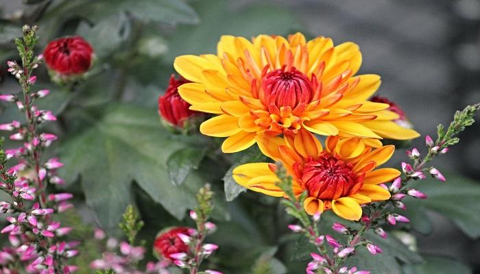 Crisantemos amarillos