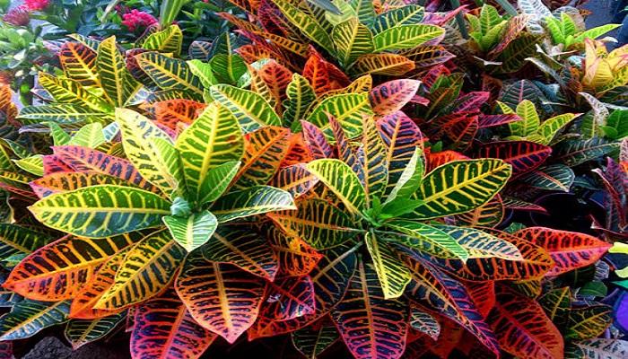 Las plantas Croton
