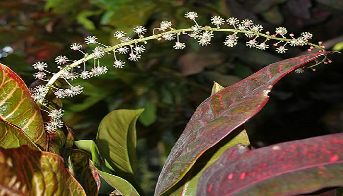 Inflorescencias de las plantas Croton