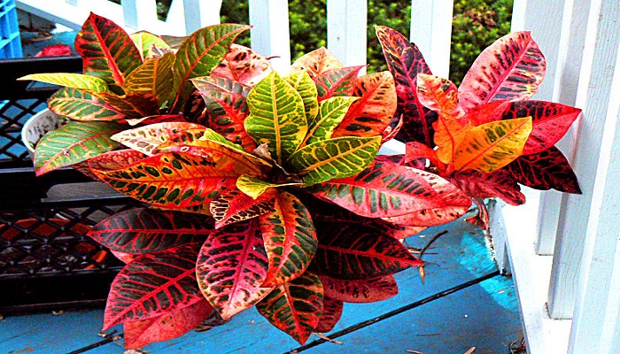 Multiplicación o propagación del Croton
