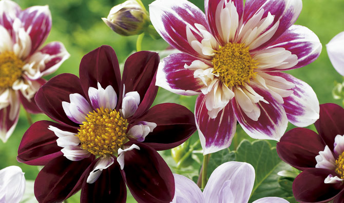 Flores Dalias
