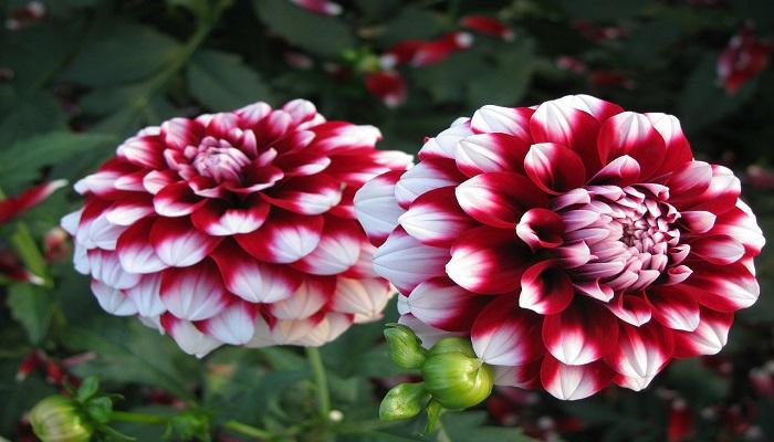 Flores de Dalias de colores combinados
