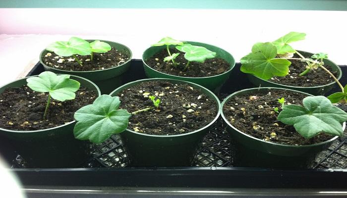 Cómo cultivar Geranios en macetas