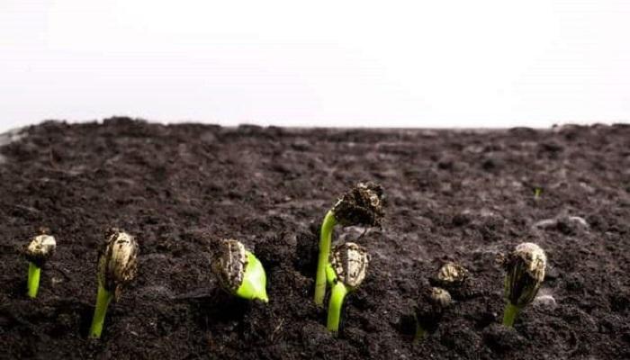 Germinación semilla de Girasol