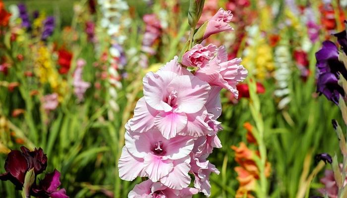 Flores de Gladiolos