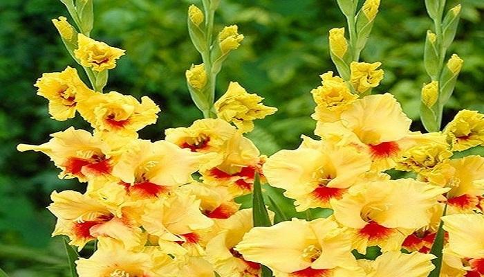 Gladiolos amarillos