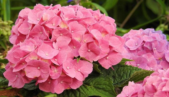 Hortensias rosadas