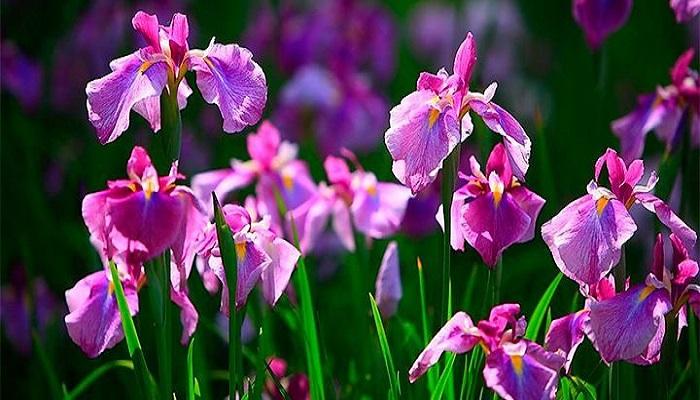 Inflorescencias de Iris