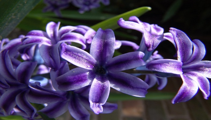 Características de las flores de Jacinto